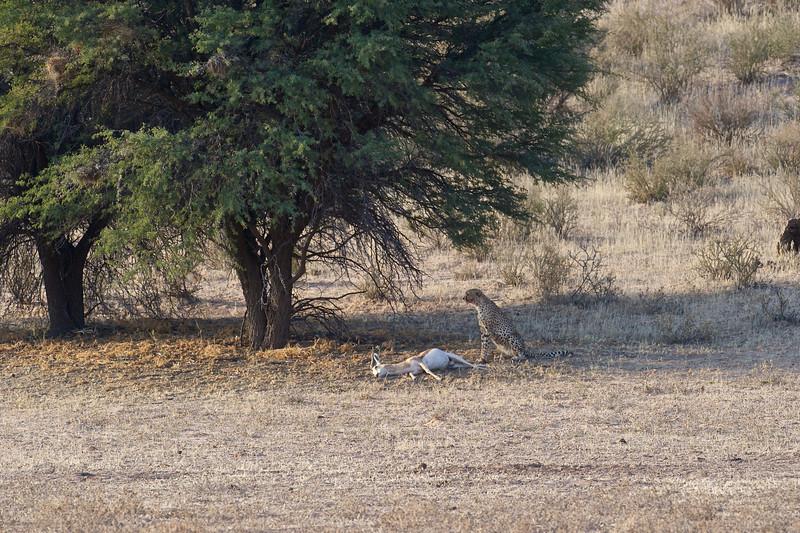 Cheetah with springbok kill, Kgaligadi Transfrontier Park, South Africa