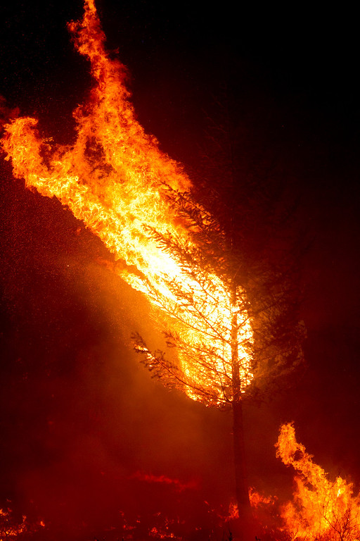 . A ponderosa pine catches fire during a back burn near Pine, Idaho set by firefighters fighting the Elk fire Wednesday Aug. 14, 2013.   (AP Photo/Idaho Statesman, Kyle Green)
