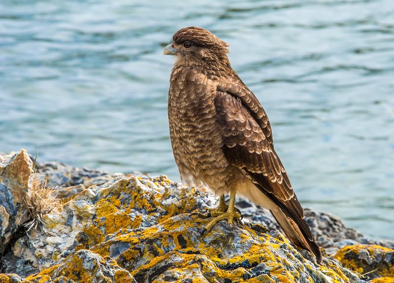 Tierra del Fuego_Birds-1.jpg