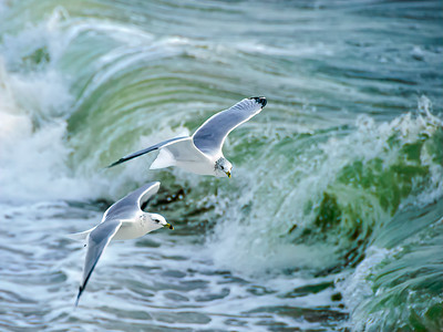 """""""Ring-Billed Gulls Over Green Atlantic Wave"""" (photography) by Mark Bailey"""