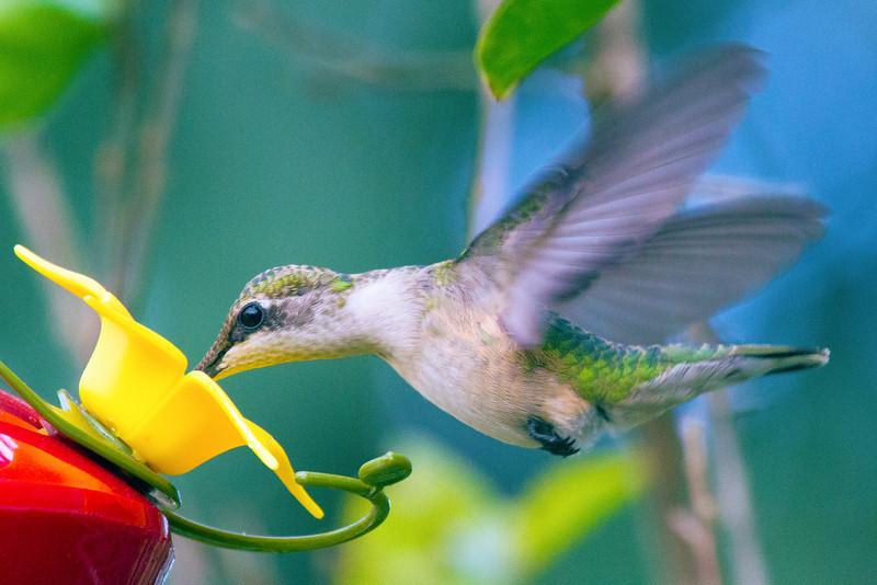 hummingdiningatfeeder2.jpg