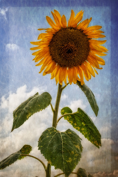 Sunflower for Class Example.jpg