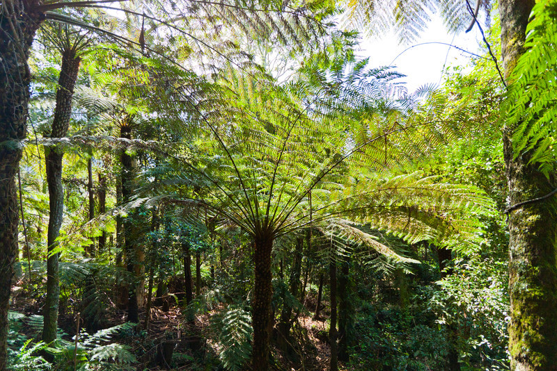 Rainforest environment at the Scenic Walkway, part way down into the valley