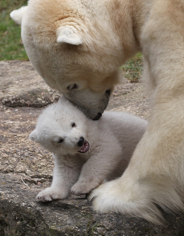 . One of the 14 week-old twin polar bear cubs plays with her mother Giovanna during their first presentation to the media in Hellabrunn zoo on March 19, 2014 in Munich, Germany. The male and female twins were born on December 9, 2013 in the zoo.  (Photo by Alexandra Beier/Getty Images)