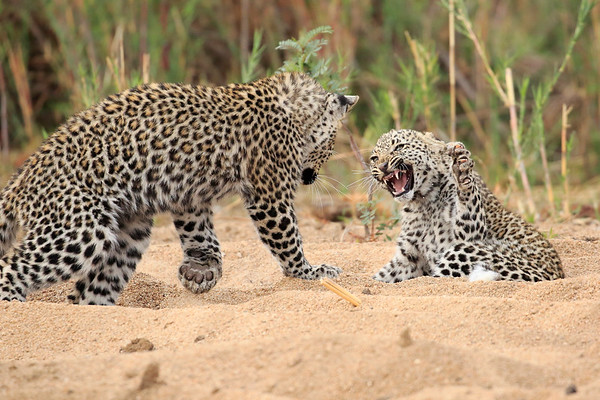 Leopard Cubs MalaMala South Africa 2016