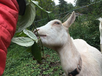 2017 Goats