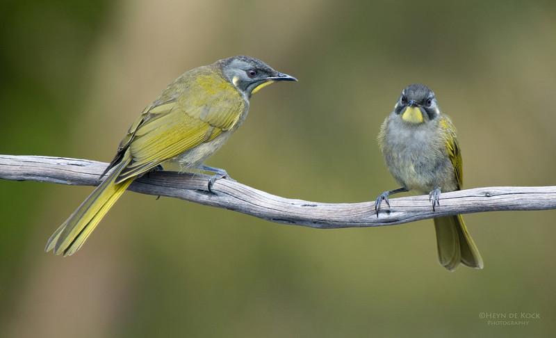 Yellow-throated Honeyeaters, Melaleuca, TAS, Aus, Feb 2011-1.jpg