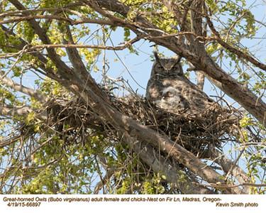 Great Horned Owls F&N66897 .jpg