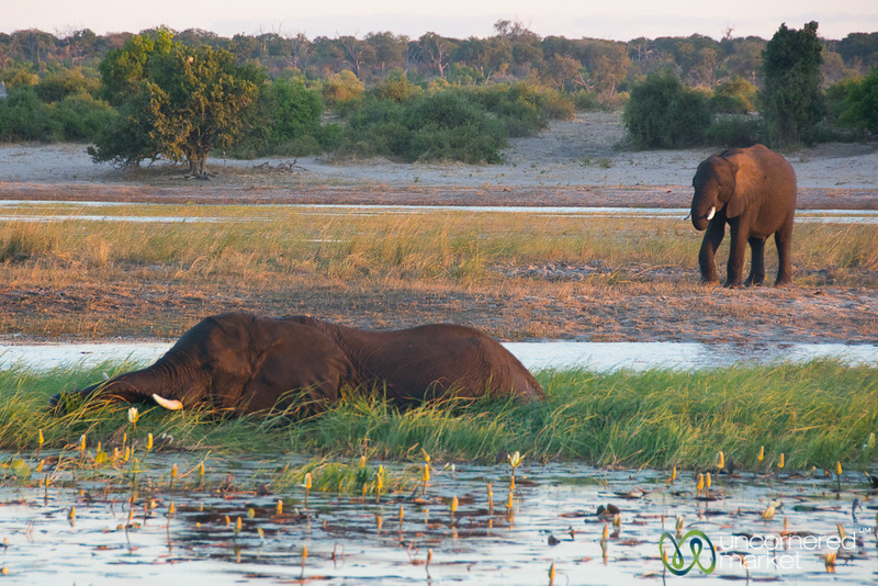 Elephants Bathing and Eating in the Chobe River - Botswana