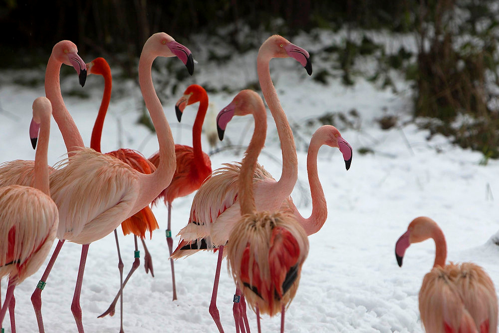 Description of . Flamingos are seen in their snow-covered enclosure in Jerusalem's Biblical Zoo January 10, 2013. The worst snowstorm in 20 years shut public transport, roads and schools in Jerusalem on Thursday and along the northern Israeli region bordering on Lebanon. REUTERS/Ronen Zvulun
