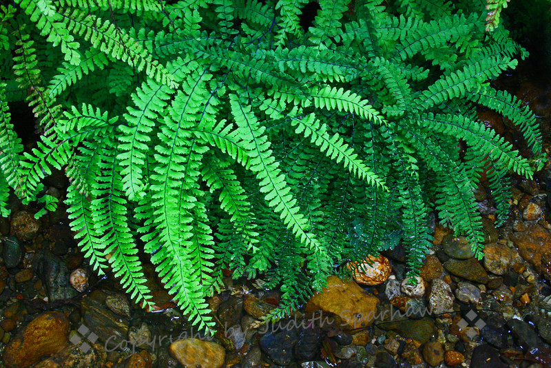 Five Fingered Ferns ~ This group of ferns above the stream side were some of 6 varieties of ferns covering the walls of beautiful Fern Canyon in Prairie Creek State Park, in northern California.