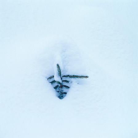 Fir sapling in the snow