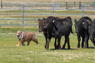 Stockdog Trial 4-2-16