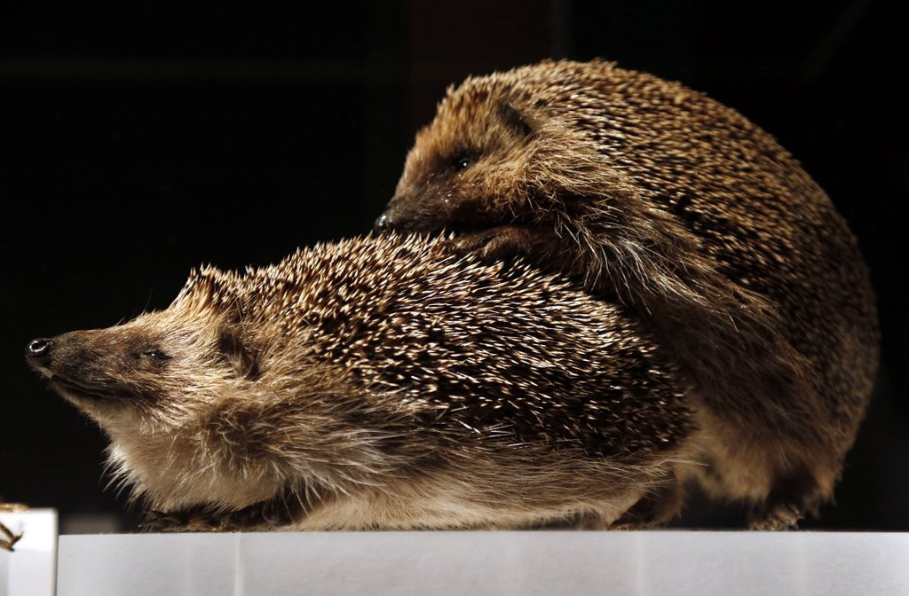 . <p>9. HEDGEHOGS <p>You might think they�re too prickly to procreate effectively. And you�d be wrong.    (Francois Guillot/AFP/Getty Images)