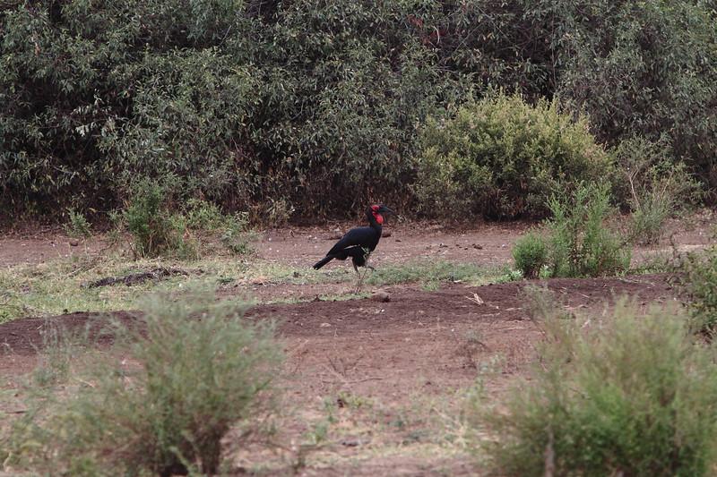 Southern Ground Hornbill.JPG