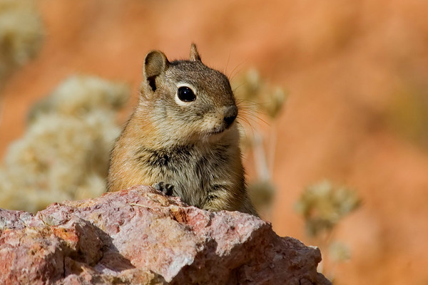 Red Squirrel - Red Rock State Park - UT