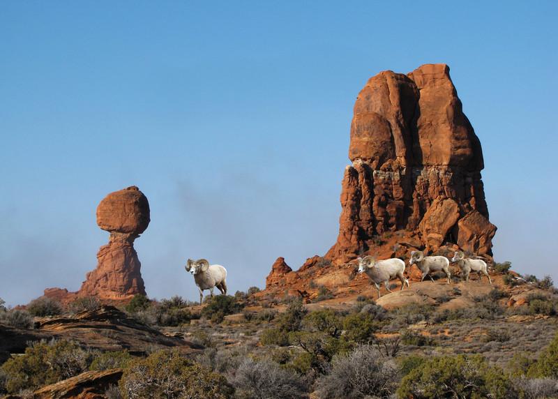 BIGHORN SHEEP - UTAH
