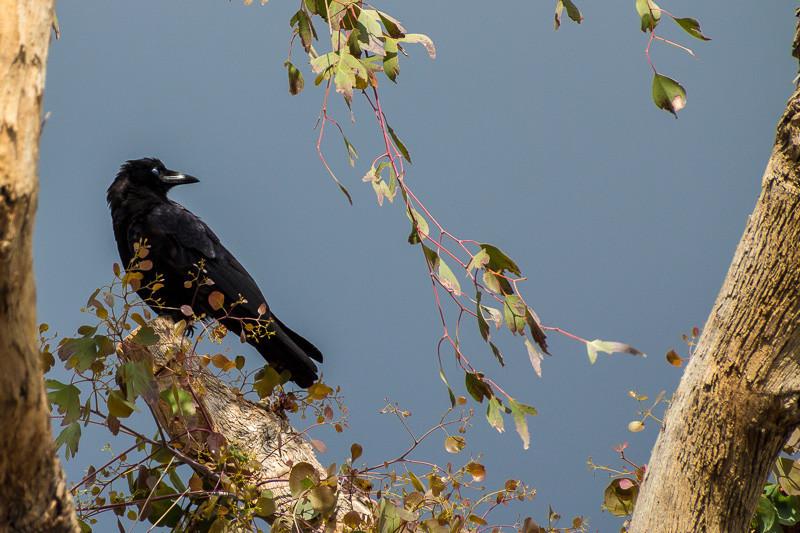 mar 8 - crow.jpg