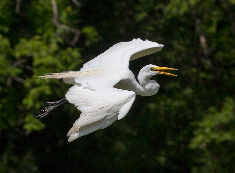 Great Egret talking in flight
