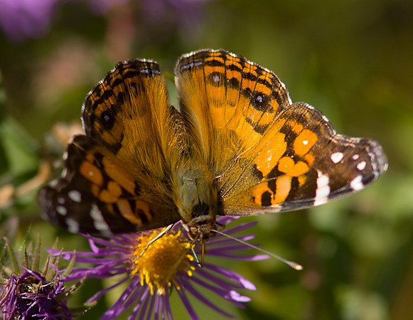Painted_Lady_CapeMay_Oct10_06.jpg