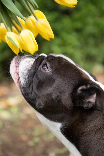 Gracie Tulips-1.jpg