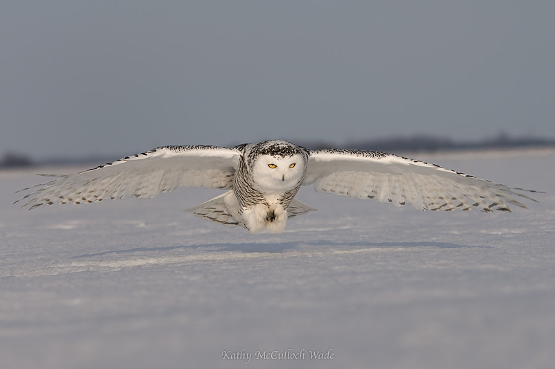 Snowy Owl wings out