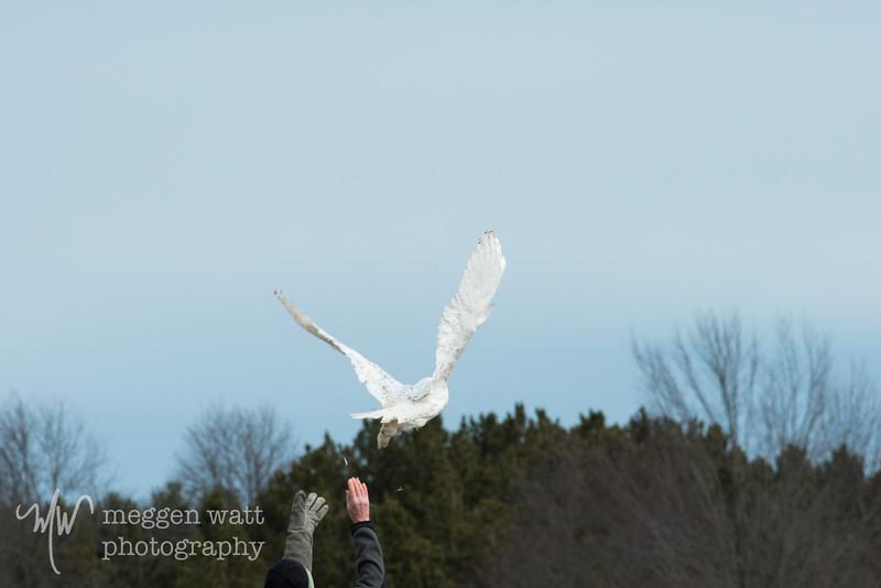 wings of wonder snowy owl release march 4-5641.jpg
