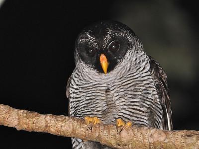 Black-and-white Owl (Ciccaba nigrolineata)