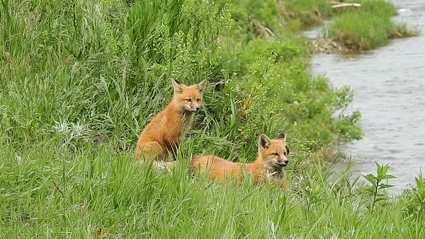 6-9-17 Video - Red Fox Kits