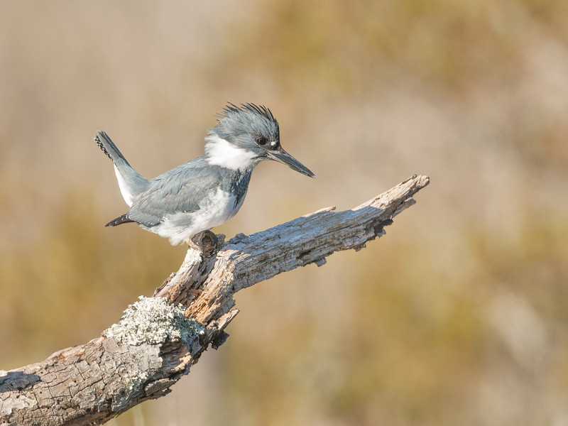 Belted Kingfisher Male Eight.jpg