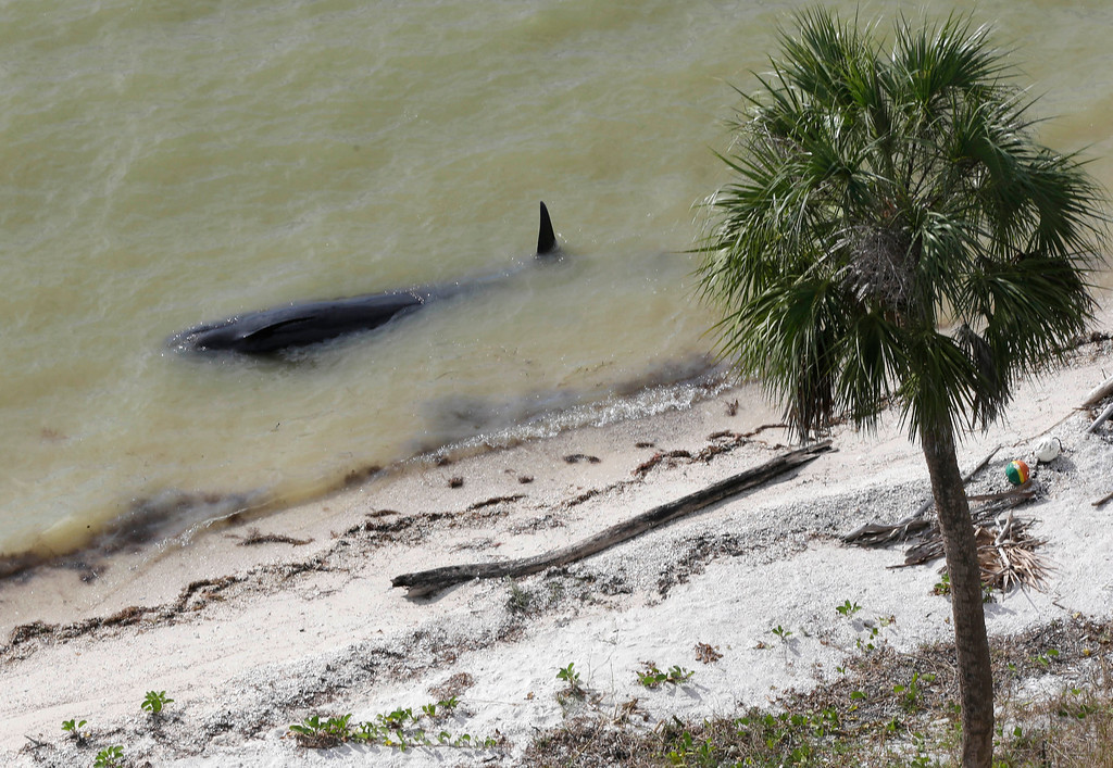 . A dead pilot whale lies near the beach in a remote area of Florida\'s Everglades National Park, Wednesday, Dec. 4, 2013. Federal officials say 10 of the dozens of whales stranded in Florida\'s Everglades National Park are now dead. (AP Photo/Lynne Sladky)