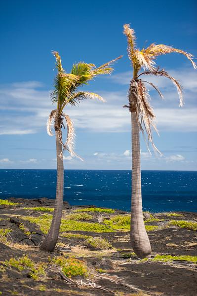 Hawaii Palms 3