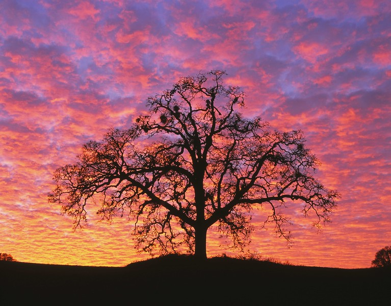 Sunset oak tree silhouette, McMinnville