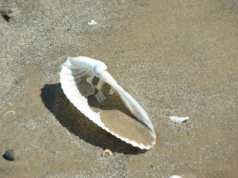 Old angel wing clam