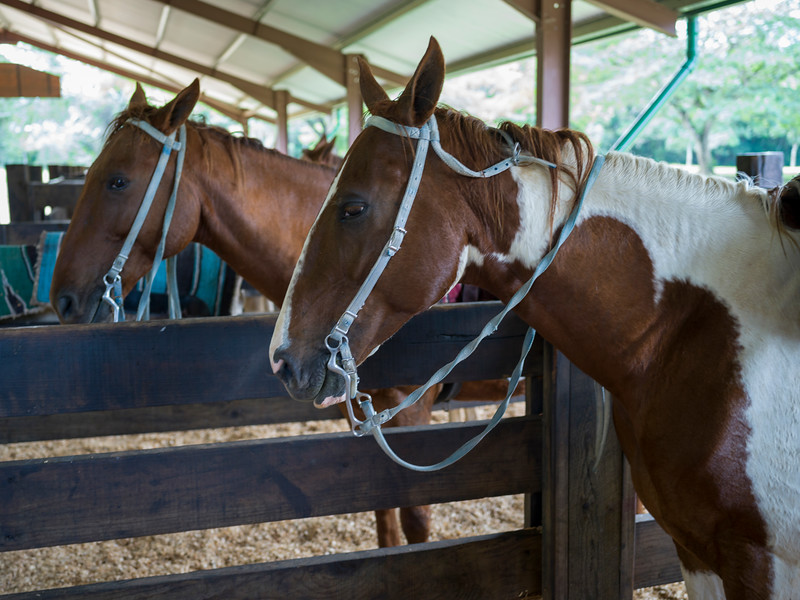 Horses in stable, Chaa Creek Road, Chaa Creek Nature Reserve, San Ignacio, Belize