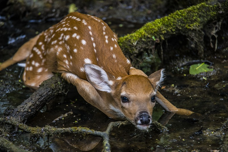 DSC_1843 Fawn lying Down to Escape Detection PS- LL NEF.jpg