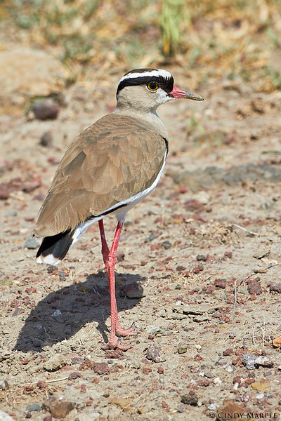Crowned Lapwing