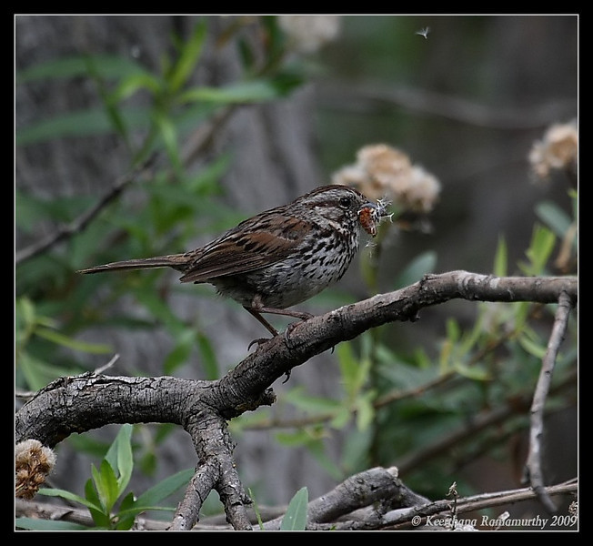 Song Sparrow with feed, Old Mission Dam, Mission Trails Regional Park, San Diego County, California, May 2009