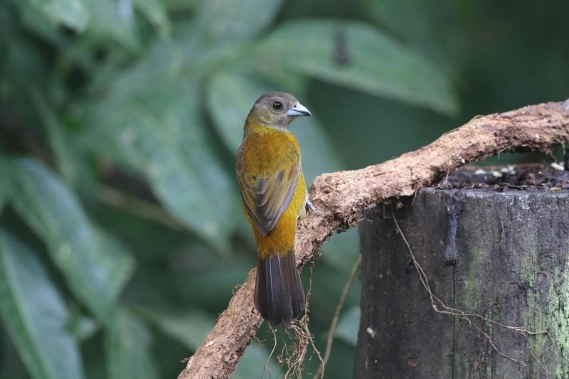 Passerini's tanager, female