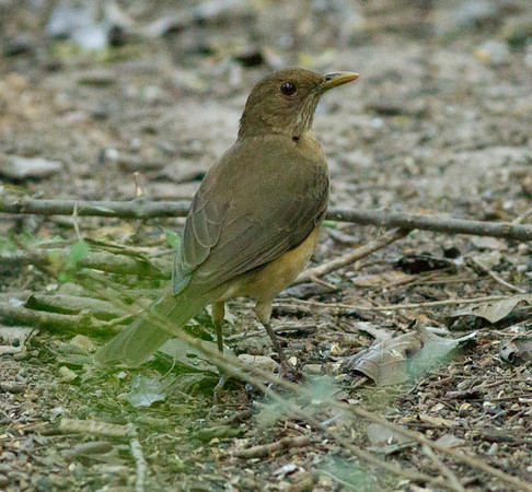 Clay-colored Thrush Turdus grayi