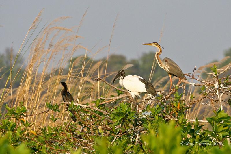 African Darter, African Sacred Ibis, Purple Heron; Moremi Game Reserve, Okavango Delta, Botswana