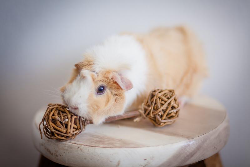 Ginea Pigs-5.jpg