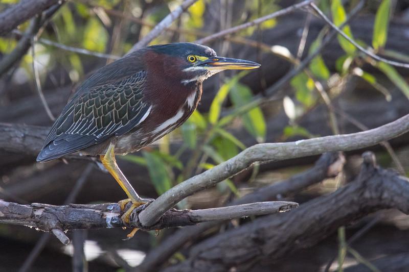 Green Heron FL Prairie 2020-2.jpg