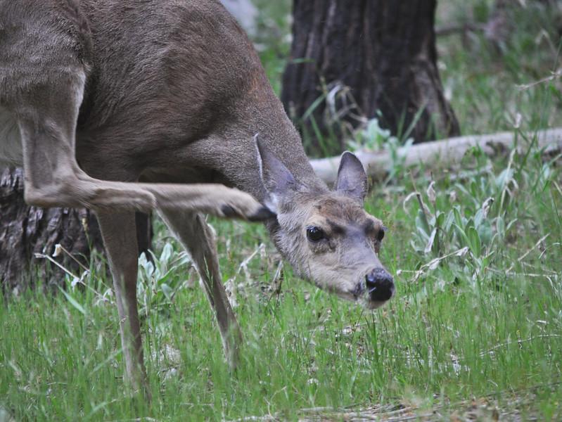 Mule deer, Yosemite National Park
