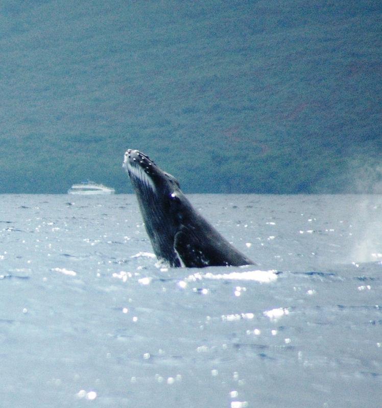 whale breach4.JPG
