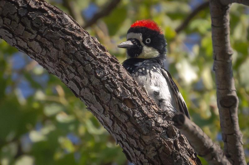 An acorn woodpecker in Pasadena, CA.