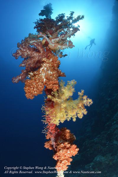 Soft Coral & diver 04 0822 Stephen WONG.jpg