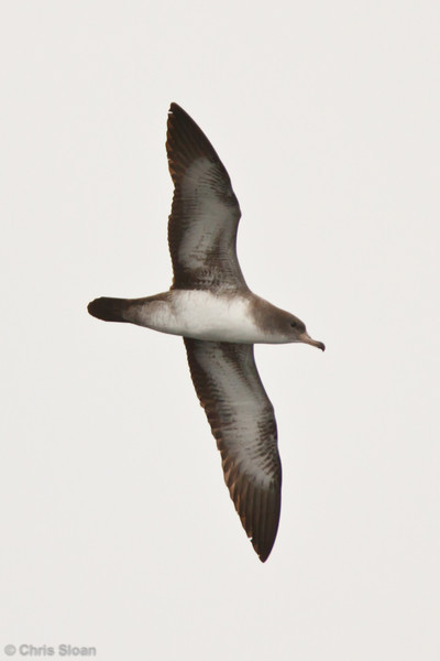 Pink-footed Shearwater at pelagic out of Bodega Bay, CA (10-15-2011) - 649.jpg