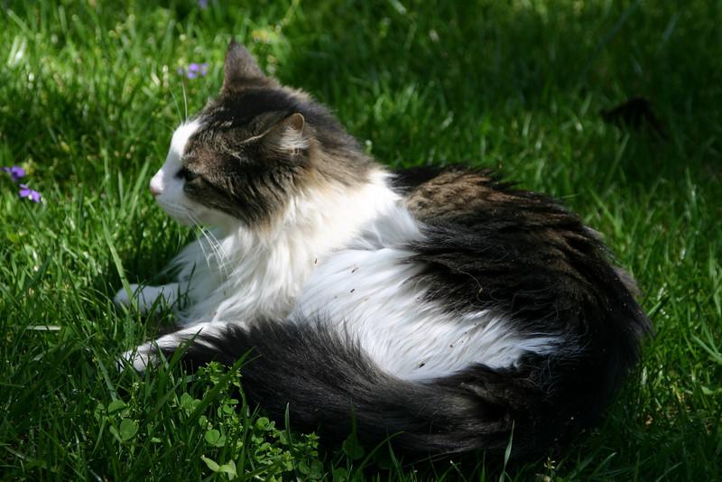 Photo taken April 15, 2005.  K-Cat resting in the grass.