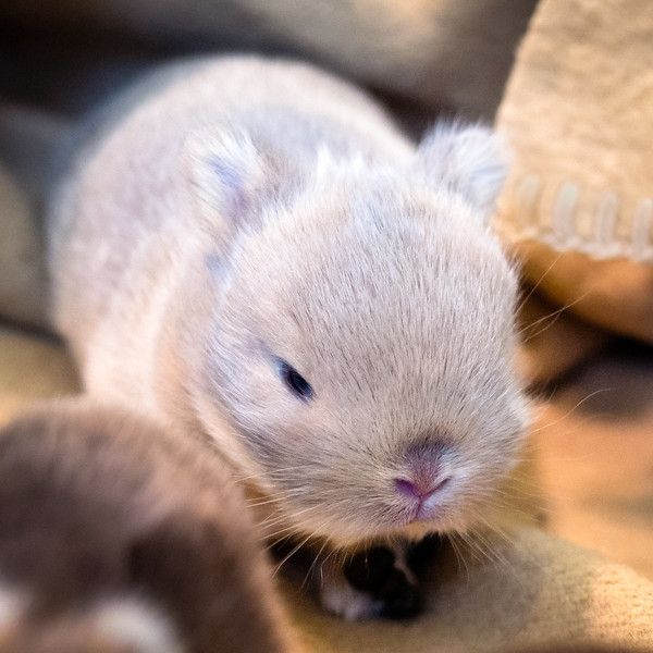 Baby Bunny 9 Days Old  (photo 40361)